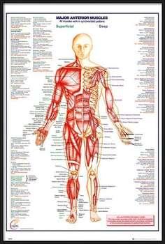 Poster înrămat Human Body - Major Anterior Muscles